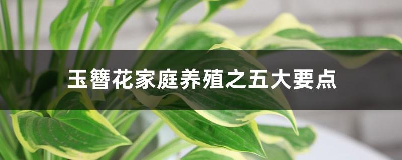 玉簪花家庭养殖之五大要点