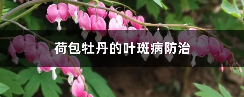 荷包牡丹的叶斑病防治