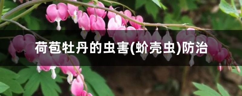 荷苞牡丹的虫害(蚧壳虫)防治