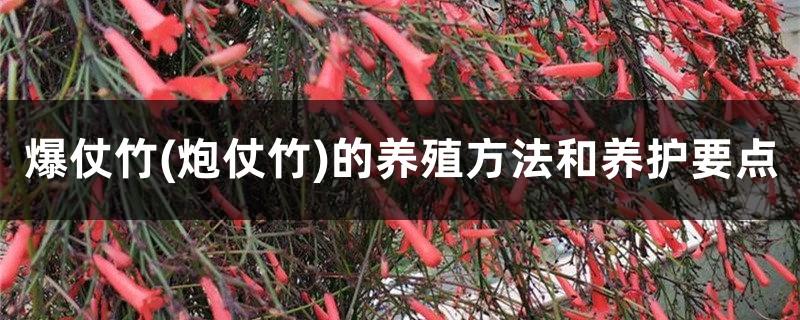 爆仗竹(炮仗竹)的养殖方法和养护要点