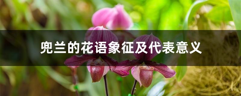 兜兰的花语象征及代表意义