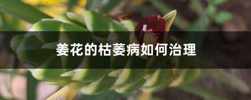 姜花的枯萎病如何治理