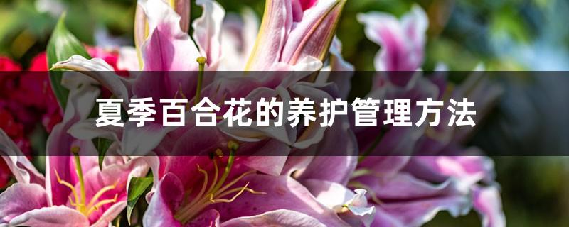 夏季百合花的养护管理方法