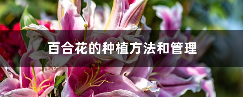 百合花的种植方法和管理