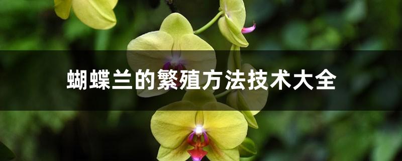 蝴蝶兰的繁殖方法技术大全