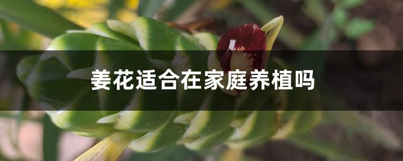 姜花适合在家庭养植吗