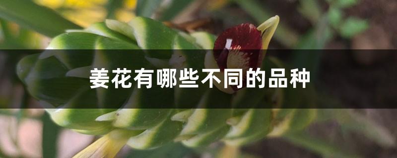 姜花有哪些不同的品种