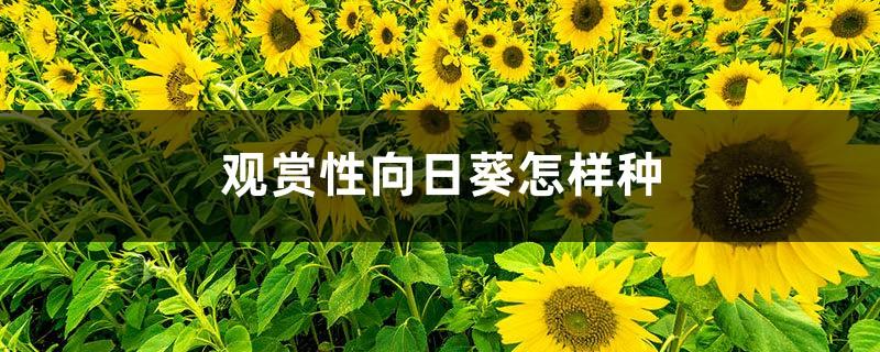 观赏性向日葵怎样种
