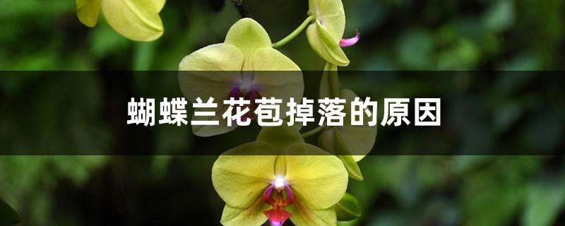 蝴蝶兰花苞掉落的原因