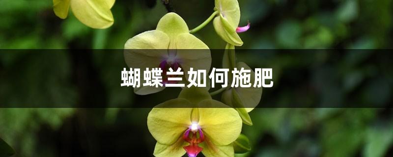蝴蝶兰如何施肥
