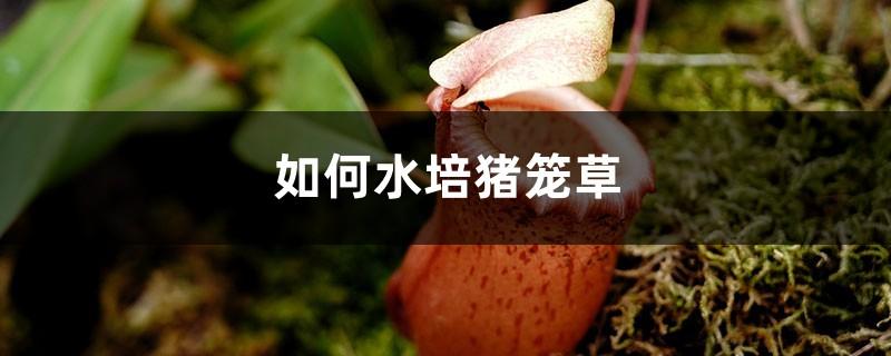如何水培猪笼草