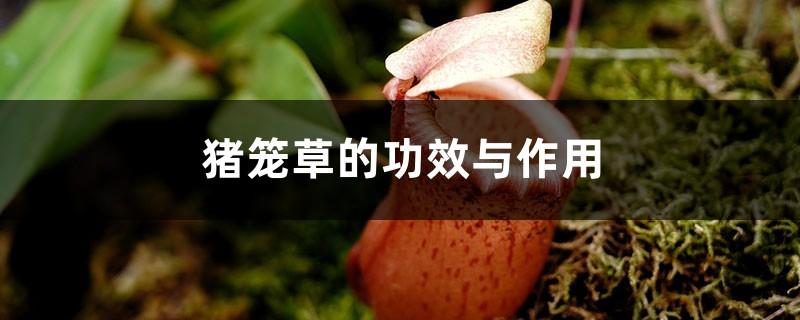 猪笼草的功效与作用