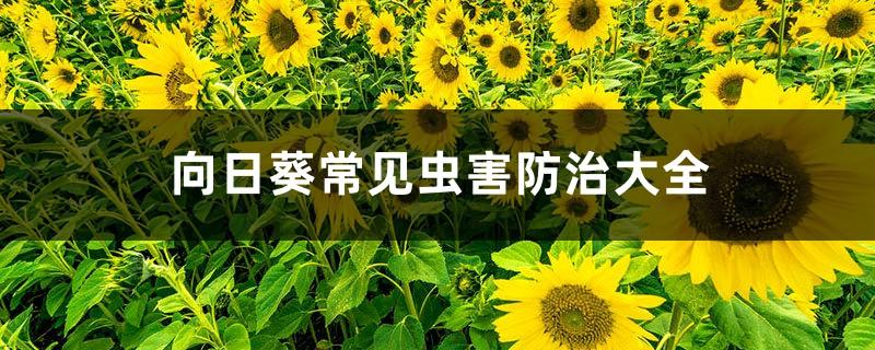 向日葵常见虫害防治大全