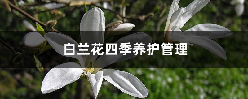 白兰花四季养护管理