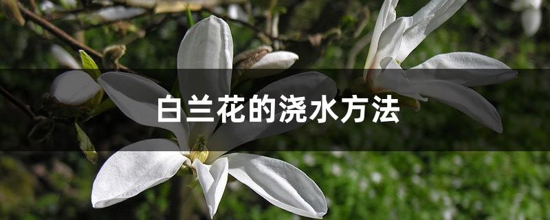 白兰花的浇水方法