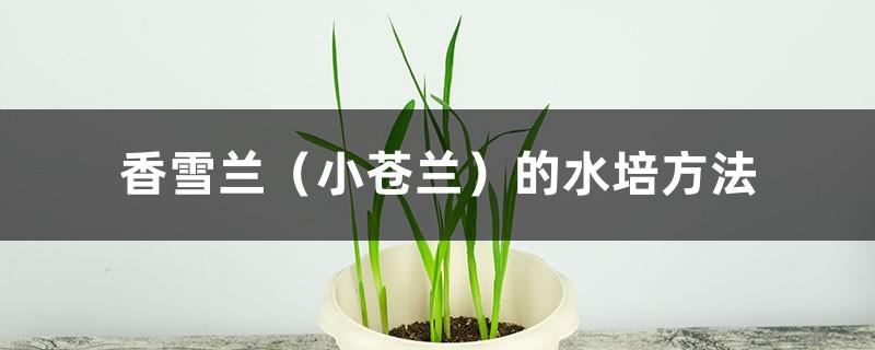 香雪兰(小苍兰)的水培方法