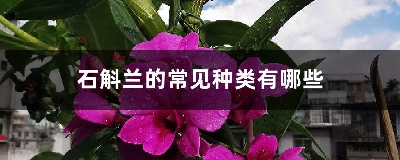石斛兰的常见种类有哪些