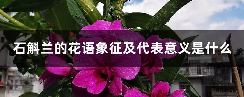 石斛兰的花语象征及代表意义是什么