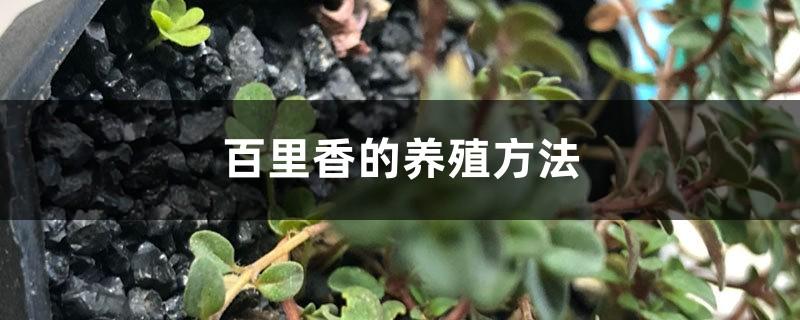 百里香的养殖方法