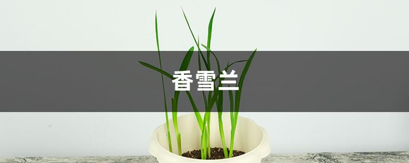 香雪兰(小苍兰)主要病害及其防治方法