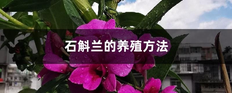 石斛兰的养殖方法