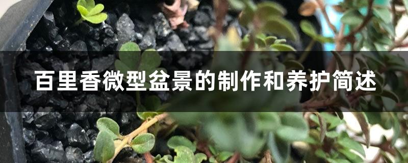 百里香微型盆景的制作和养护简述