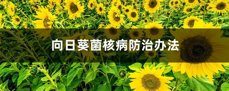 向日葵菌核病防治办法