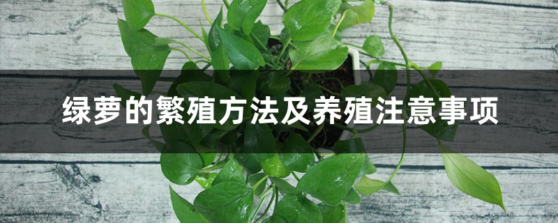 绿萝的繁殖方法及养殖注意事项