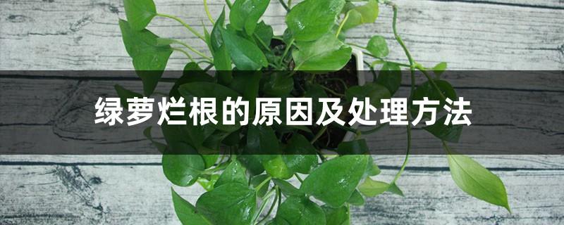 绿萝烂根的原因及处理方法