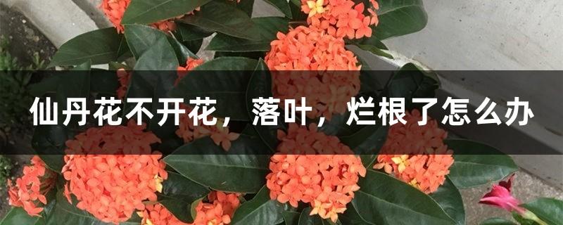 仙丹花不开花,落叶,烂根了怎么办