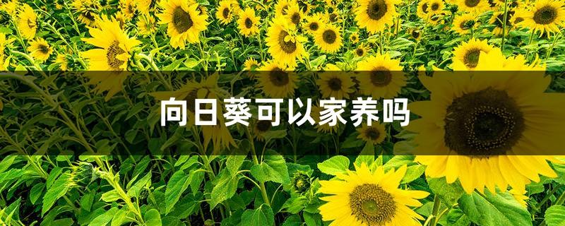 向日葵可以家养吗