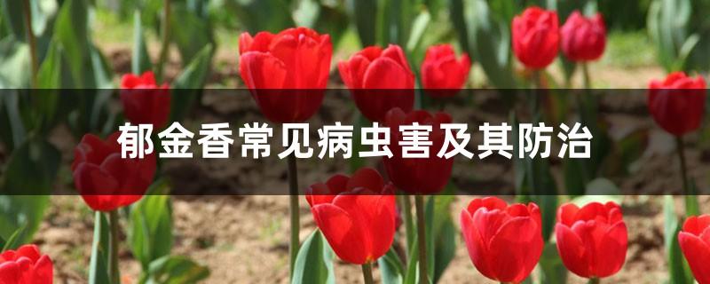 郁金香常见病虫害及其防治