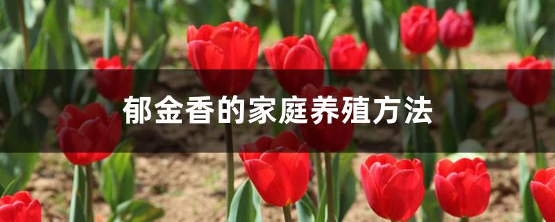 郁金香的家庭养殖方法