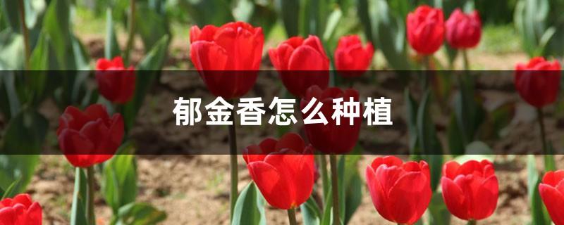 郁金香怎么种植