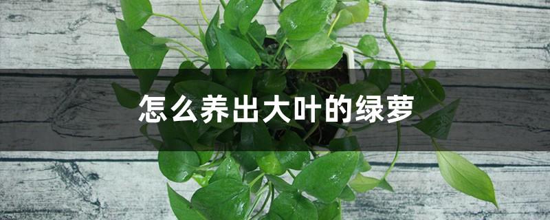 怎么养出大叶的绿萝
