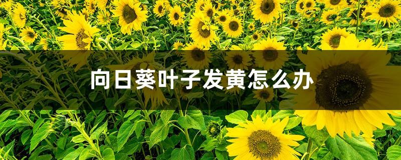 向日葵叶子发黄怎么办