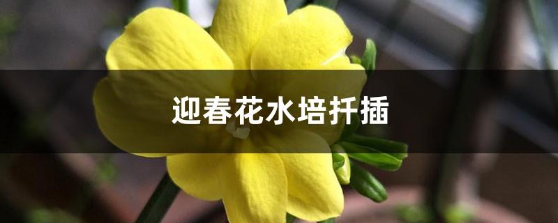 迎春花水培扦插
