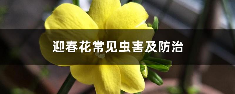 迎春花常见虫害及防治