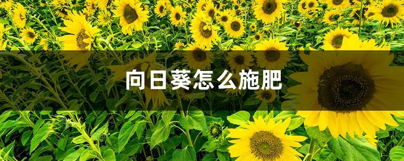 向日葵怎么施肥