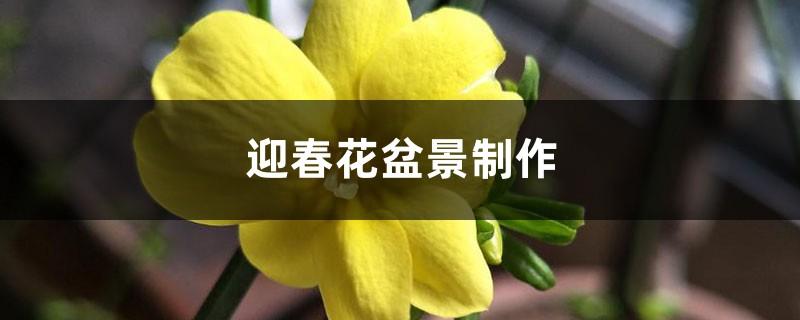 迎春花盆景制作