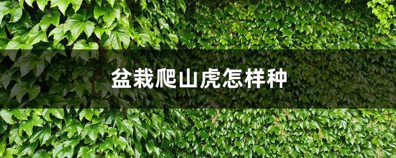 盆栽爬山虎怎样种
