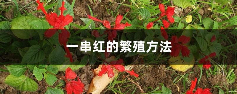 一串红的繁殖方法