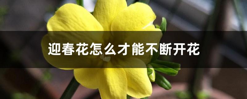 迎春花怎么才能不断开花
