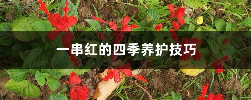 一串红的四季养护技巧