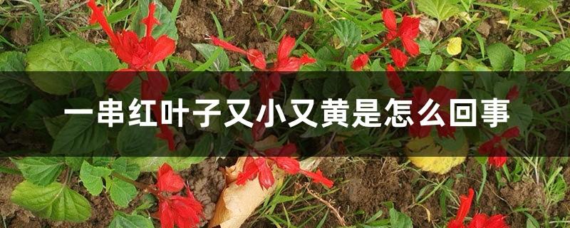 一串红叶子又小又黄是怎么回事