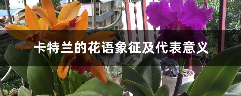 卡特兰的花语象征及代表意义