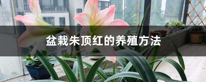 盆栽朱顶红的养殖方法