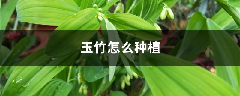 玉竹怎么种植