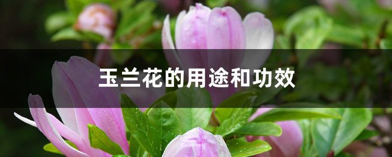 玉兰花的用途和功效