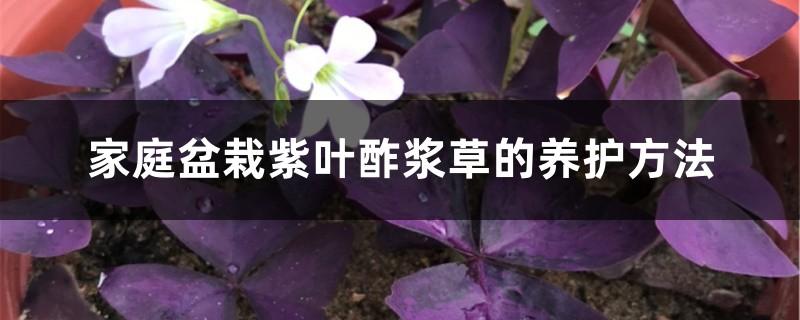 家庭盆栽紫叶酢浆草的养护方法